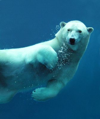 Polar Bear Underwater Close Up