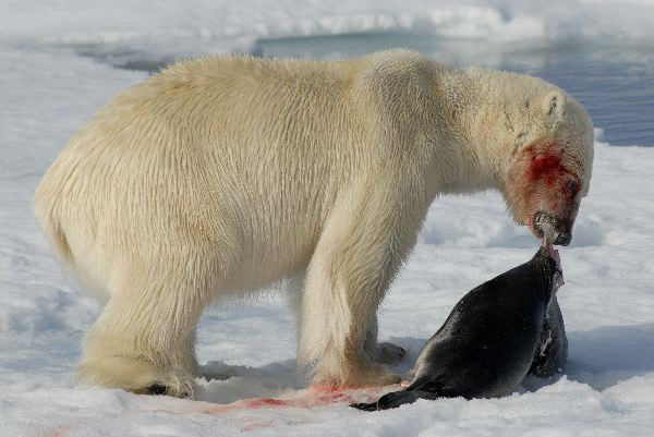Polar Bear Diet