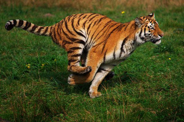 Running Siberian Tiger