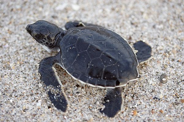 Sea Turtle amazing facts