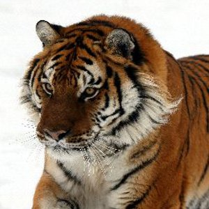 Tiger Evolution Picture - Animal Facts and Information - photo#33