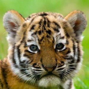 Tiger Reproduction Animal Facts And Information