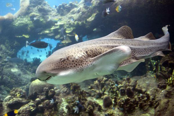 Zebra Shark - Stegostoma fasciatum or varium