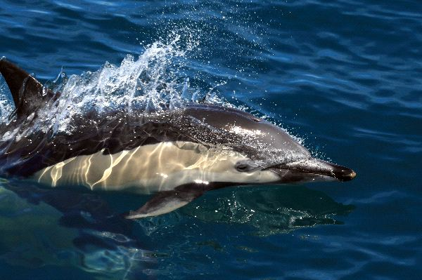 Common Dolphin Facts and Information
