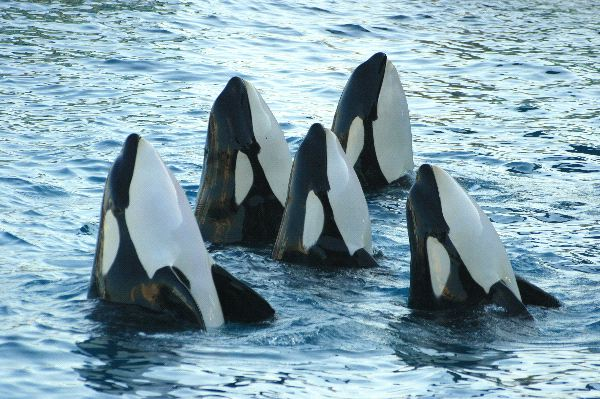many interesting facts about orcas Killer whales in the wild fact:  myths and facts about orca captivity  many captive orcas spend a large.