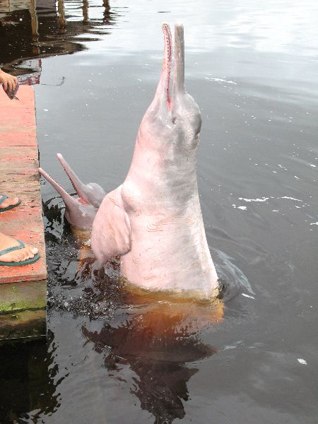 Amazon River Dolphin - Inia geoffrensis