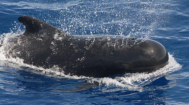 Pilot Whale Information