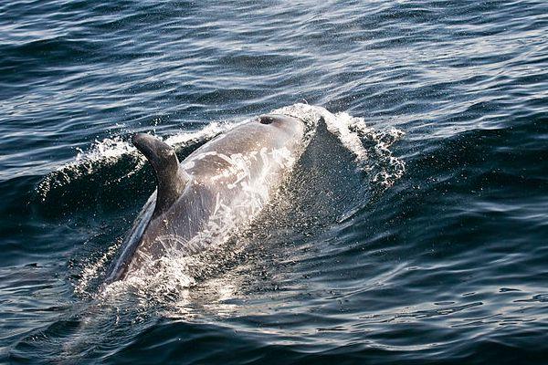 Risso's Dolphin - Grampus griseus