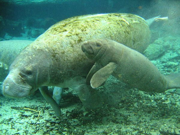 Manatee Reproduction Facts