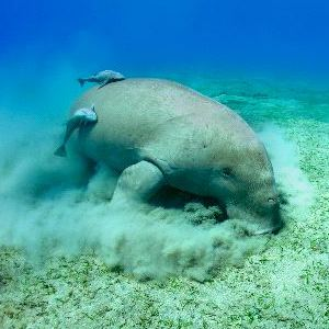 Manatee - Animal Facts and Information