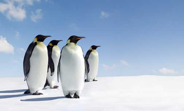 Emperor Penguin Facts and Information