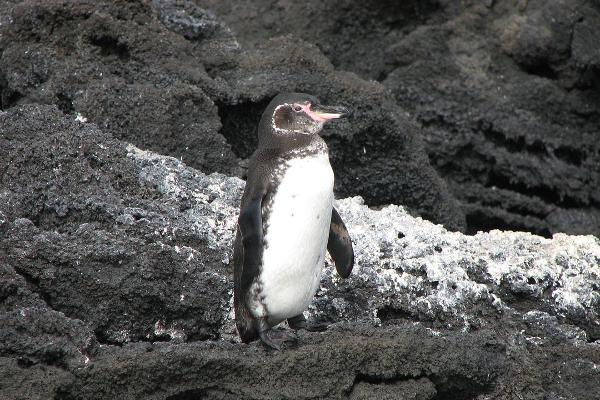 Galapagos Penguin - Spheniscus mendiculus