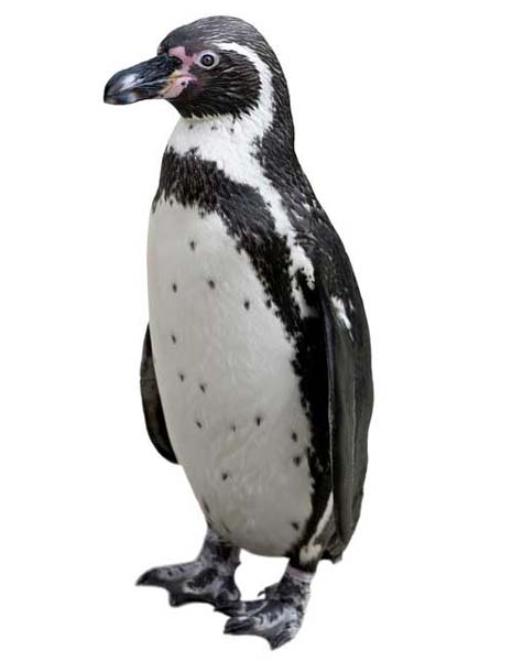 Humboldt Penguin Facts