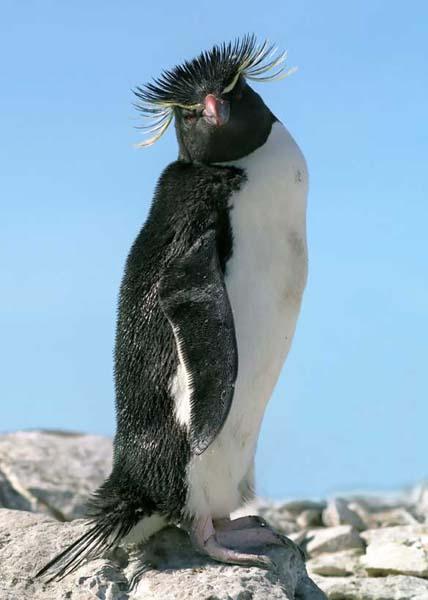 Eastern Rockhopper Penguin - Eudyptes chrysocome filholi