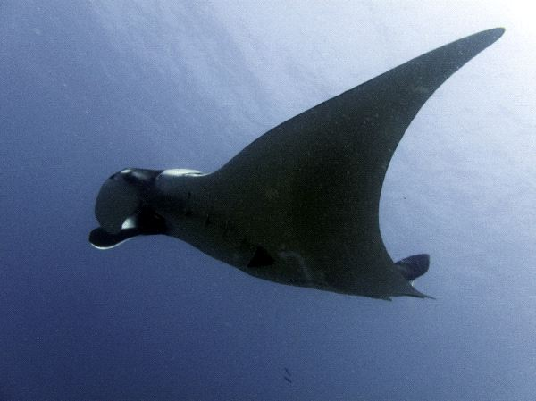 Manta Ray Physical Characteristics
