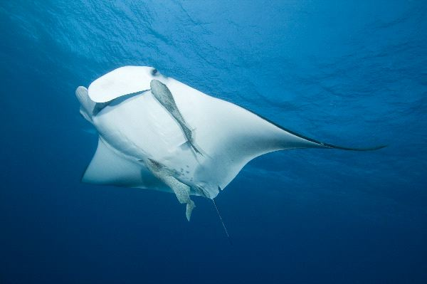 Manta Ray Behavior Facts