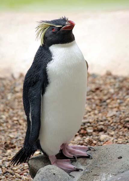 Northern Rockhopper Penguin - Eudyptes moseleyi