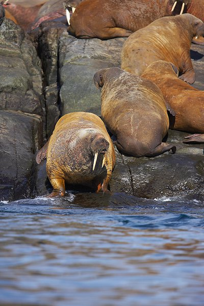 Walrus Diet Facts and Information