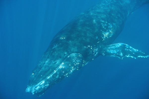 Whale diving to find food