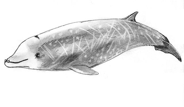 Cuvier Whale / Author: Bardrock