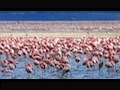 Flamingo video