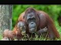 Orangutan video