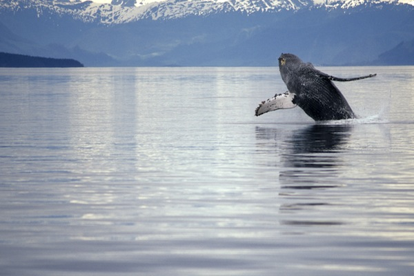Humpback whale breach in Alaska