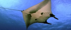 Mantaray Facts