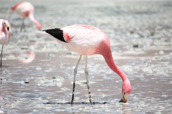 Andean Flamingo Facts