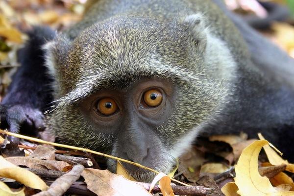 sykes monkey resting in foliage