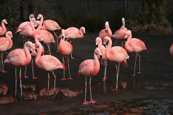Chilean flamingo facts