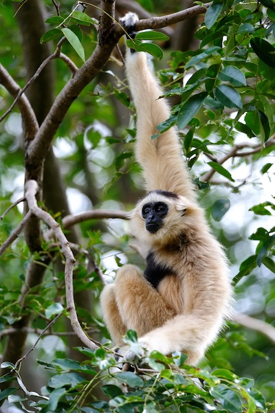 Gibbons in rainforest
