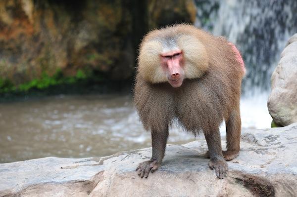 hamadryas baboon - Papio hamadryas