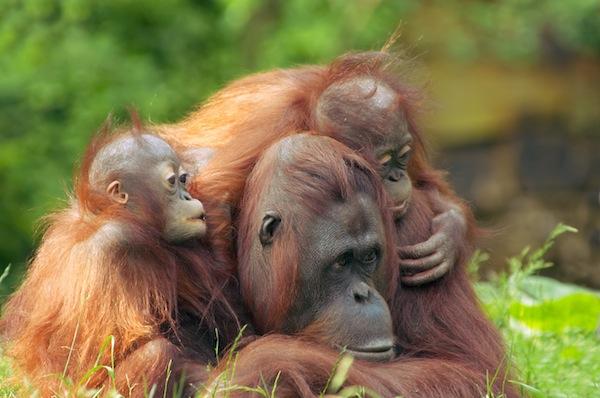 Orangutan breeding