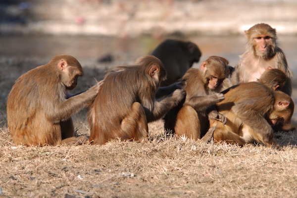 Monkeys scratching backs in Kathmandu