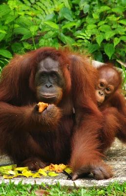 Types of orangutans
