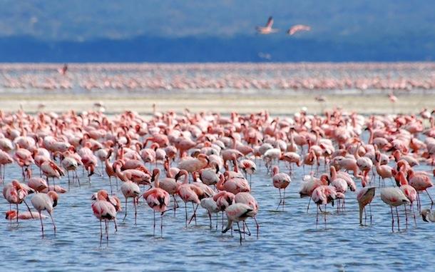 Flamingo social behavior