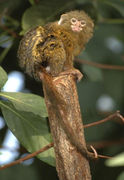 Pygmy marmoset New World monkey