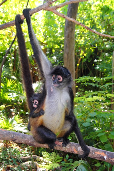 spider monkey reproduction