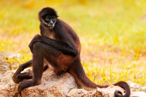 Spider Monkey facts and information