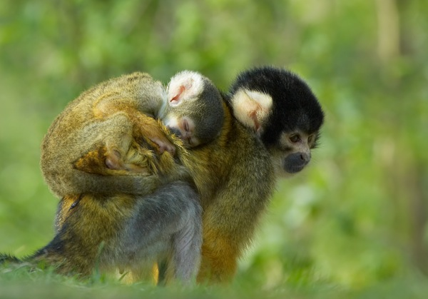 cooperation capuchin monkeys We will in this piece investigate inequality aversion in animals with the  the papers found that capuchin monkeys seemed to  competition and cooperation.