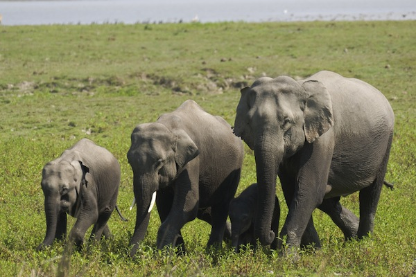 Asian Elephant facts and information