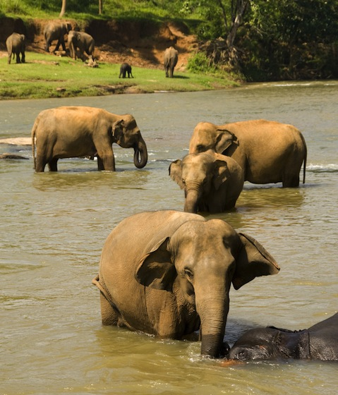 Asiatic elephants in the River