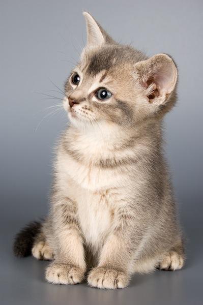 housecat information