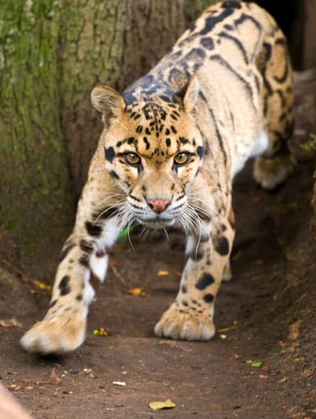 Clouded Leopard - Facts and Information