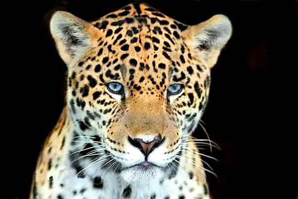 head shot baby jaguar