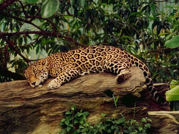 Jaguar Animal Facts And Information