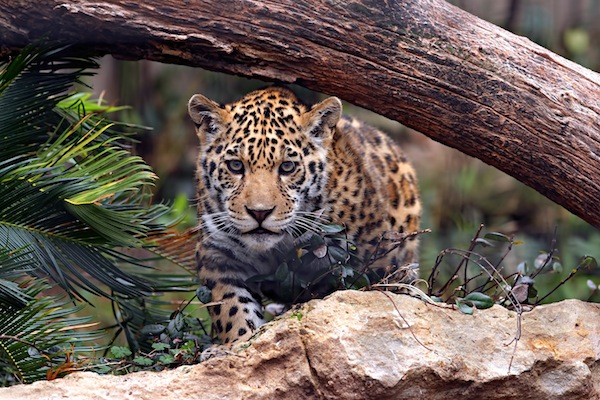 Jaguar Facts and Information