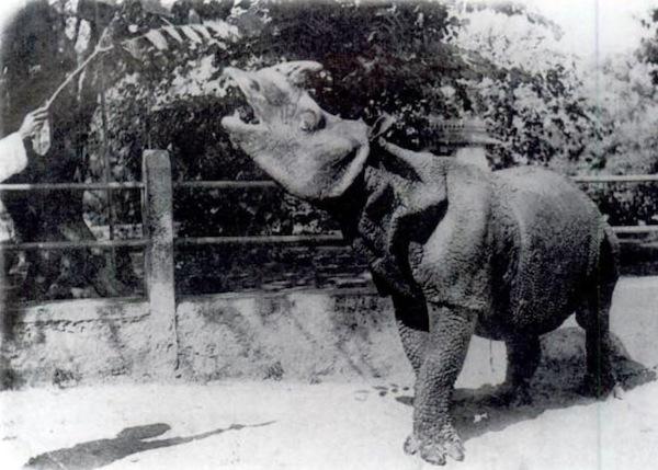 Javan Rhinoceros eating leaves