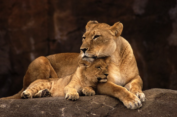 Lion facts and information